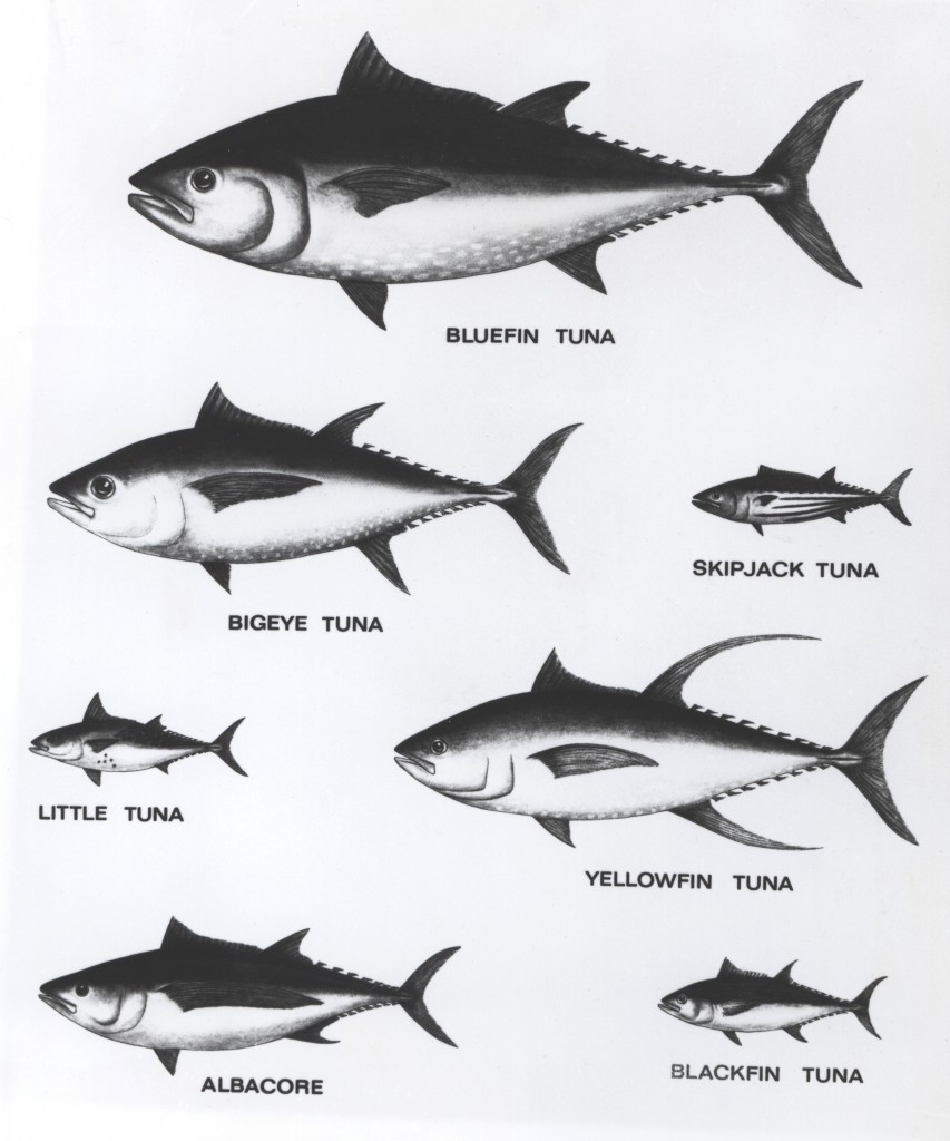 Tuna_Relative_Sizes